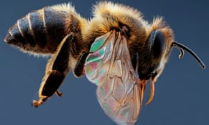 A European honeybee