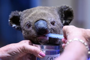 A dehydrated and injured Koala being given water