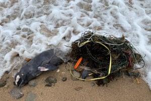 Carcass of finless porpoise