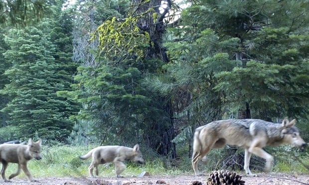 Two pups follow a female gray wolf through Lassen national forest in 2017. Wolves remain on the endangered species list in California. Photograph: AP