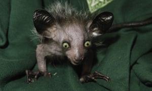 Wide awake club: an aye-aye or Madagascan lemur. Gerald Durrell's last book was entitled The Aye-aye and I.