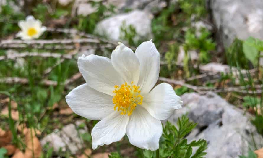 Pulsatilla alpina, the alpine anemone.