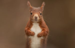 Britain's red squirrel is distinctive for the colour of its fur and its tufted ears.