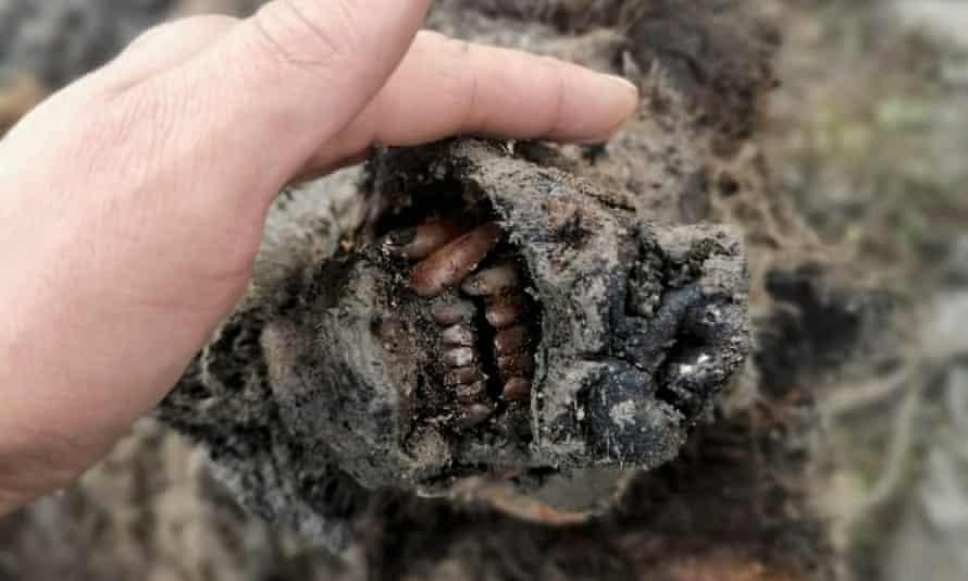 The head of an ice age cave bear found on Bolshoy Lyakhovsky Island in Siberia.