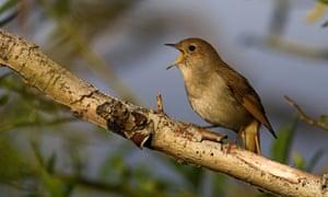 A nightingale (Luscinia megarhynchos), sitting on a branch, singing, on the Greek island of Lesbos.
