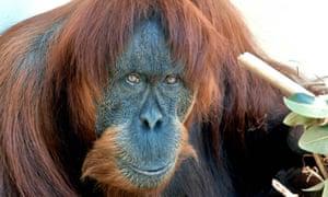 Puan the Sumatran orangutan who has been put down aged 62