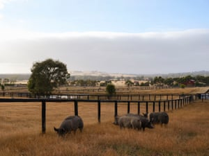 Resident pigs at Edgar's Mission in Lancefield