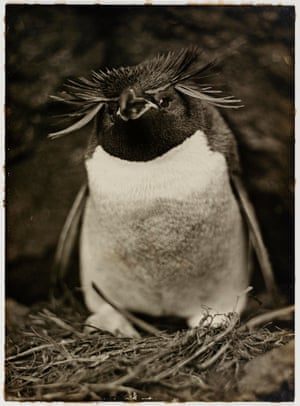A Sclater penguin