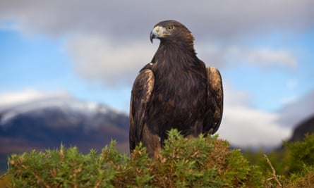 A golden eagle, another species at risk of lead poisoning, in the Cairngorms National Park, Scotland.
