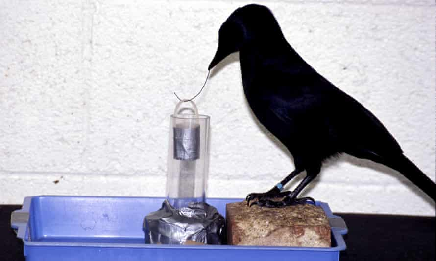 Betty the crow astonished scientists by deliberately bending a straight wire into a hook and using it to extract food from a container in a 2002 experiment by Oxford University researchers.
