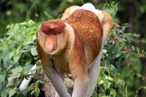 Proboscis monkey, Malaysia. Researchers have found that male monkeys with large noses have more females in their harems, proving that size does matter