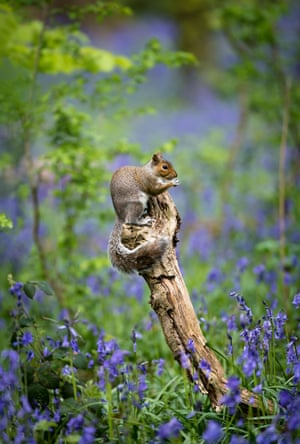 A grey squirrel sits among bluebells in Fairlands Valley Park