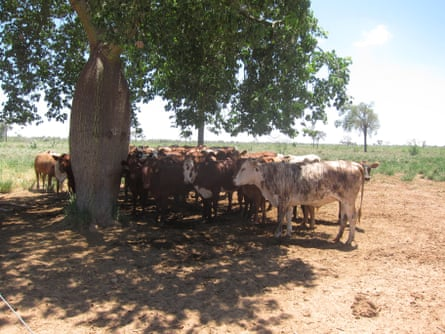 Cows on cleared land in Cuyabia cluster beneath the shade of a samu'u tree