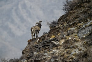A bharal, also called the Himalayan blue sheep, at a nature reserve in north-west China
