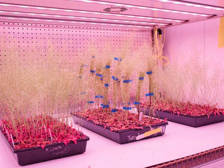 A view of a grow room where plants that belong to the genus: Arabidopsis, Lotus and Medicago at The Salk Institute for Biological Studies.