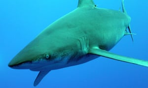 An oceanic whitetip coming in for a close up.