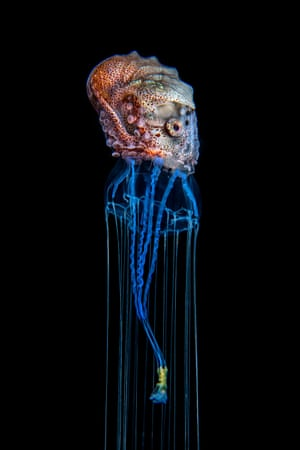 Underwater world category runner-up: Hitchhiking Octopus