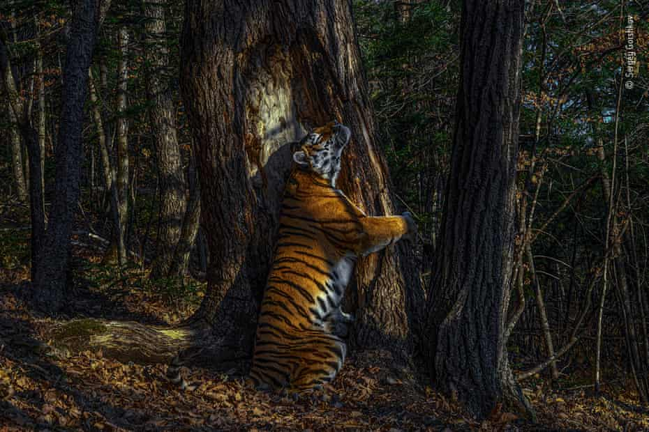 Sergey Gorshkov's image of an Amur tiger, which won him the 2020 wildlife photographer of the year award.