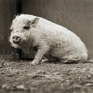 Violet, a pot-bellied pig, was born with partially paralysed hind legs
