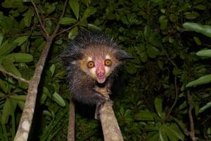 An aye-aye (Daubentonia madagascariensis) in western Masoala, Madagascar
