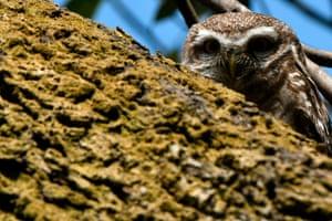 A spotted owlet is seen on a tree branch in Kathmandu