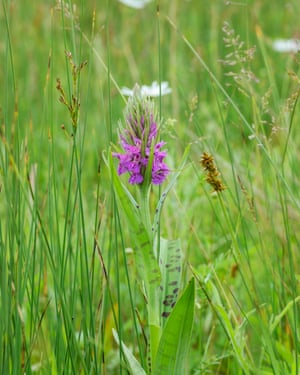 Hybrid between Common Spotted Orchid, Dactylorhiza fuchsii, and Southern Marsh Orchid