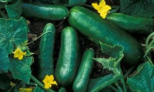 Cucumber plant, Tamra hybrid