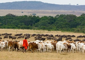 A Maasai herder with his cattle and large herd of wildebeest