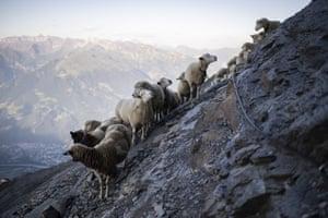 A flock of sheep crosses alpine terrain in Flaesch, Switzerland.