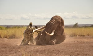 Kenya Wildlife Service vets push elephant Tim to the ground as he collapses from the effect of a tranquiliser dart, during operations to fit a tracking collar to the elephant in Amboseli, Kenya, on 10 September 2016.