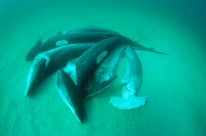 Dead sharks lie on the bottom of the Pacific Ocean