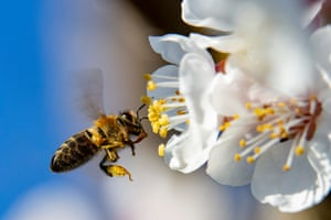 A honeybee collects pollen from a pear tree near Nagykanizsa, south-west Hungary