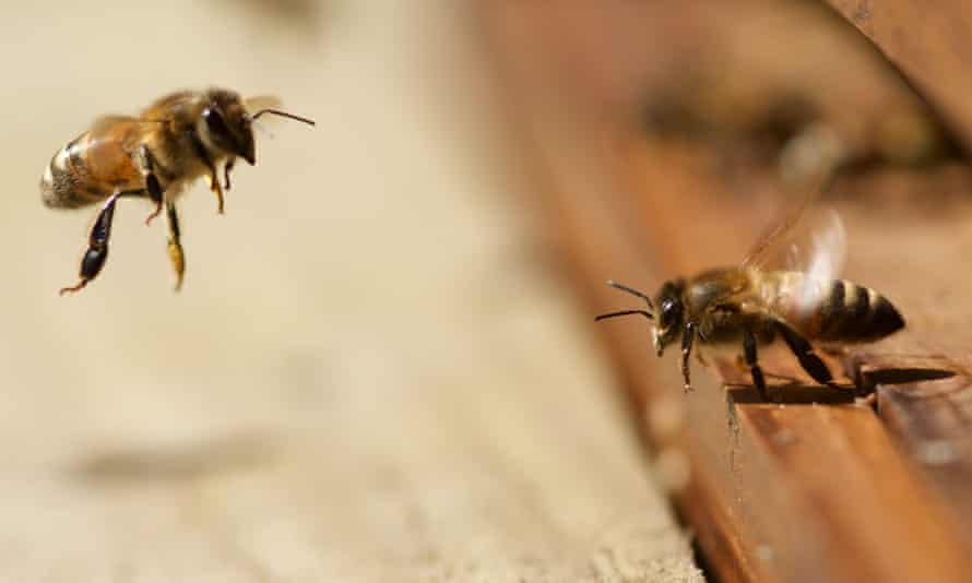 """Honey bees at beehive near Corwen, North Wales - 18 Apr 2015<br>Mandatory Credit: Photo by Richard Bowler/REX Shutterstock (4681850a) Honey bees leaving and entering a beehive Honey bees at beehive near Corwen, North Wales - 18 Apr 2015 Wildlife photographer Richard Bowler captured these fascinating images of honey bees in a hive near Corwen, North Wales on Saturday (18 April). He says: """"I photographed these when a friend examined his hive. I ended up with five stings to the head for my trouble, LOL!"""" animalgallery"""