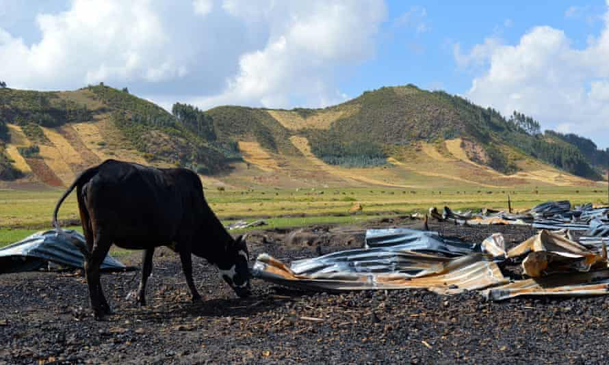 A cow on Solagrow land near property burnt down in a protest in Chitu
