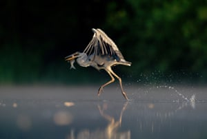 Animal behaviour winner (2011): Grey Heron Walking on Water by Andrew Parkinson, Derbyshire
