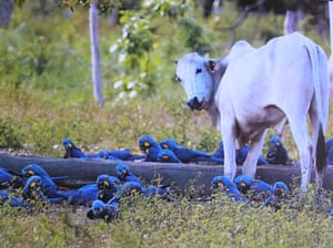 Hyacinth macaws feed near a cow on a ranch in the Brazilian Pantanal. The Pantanal, a vast tropical wetland straddling Brazil's border with Bolivia and Paraguay, is suffering its worst fires in more than two decades