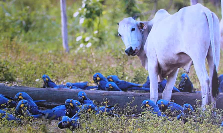 Hyacinth macaws feed near a cow on a ranch in the Brazilian Pantanal.