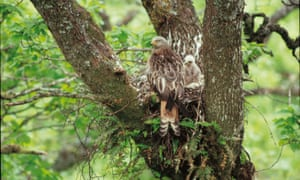 A red kite nest in Scotland: the species is among those targeted by gamekeepers and farmers illegally.