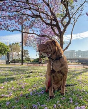 Gomi the shar pei dog at a park in Circular Quay, Sydney