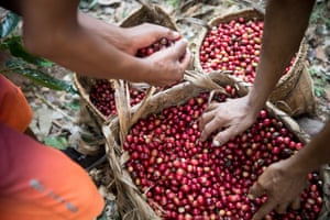Tankoari villagers with a crop of ripe red coffee beans. Cool Earth employs a coffee technician to advise the locals on how to cultivate coffee of a high enough grade to fetch a good price