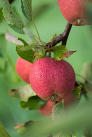 Apples in the orchard.