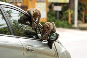 Macaque monkeys sit on a car in Hua Hin, Thailand. Monkeys are going hungry following the drop in tourism as a result of the coronavirus pandemic.