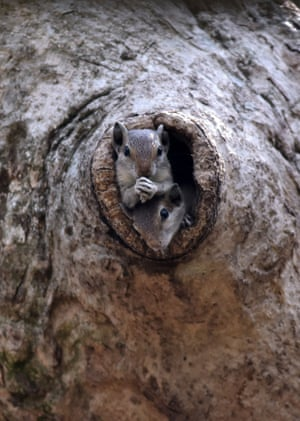 A pair of Indian palm squirrels look out from a tree hole on the outskirts of Bhubaneswar