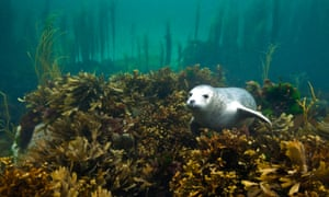 A seal in a kelp forest underwater