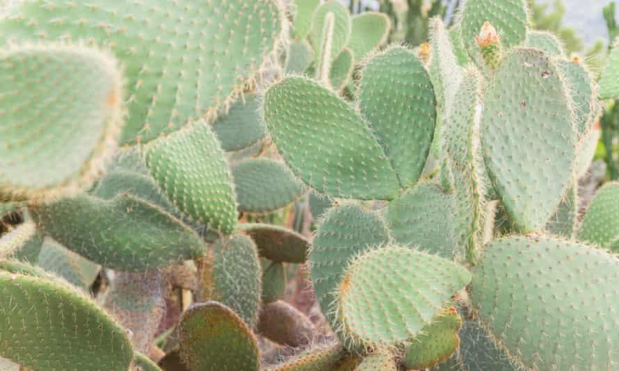 Opuntia cactus in a cactus garden