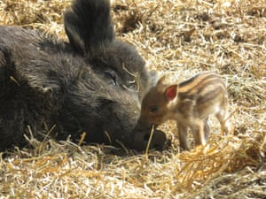 Dunstable, England One of a litter of wild boar piglets, with the mother, born at ZSL Whipsnade zoo near Dunstable