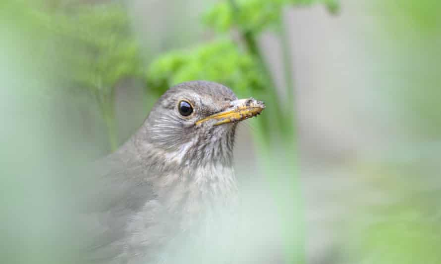 Female blackbird interrupted digging for worms.