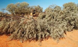 mulga plants