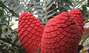 Female cones of the holly leaf cycad, Encephalartos ferox.