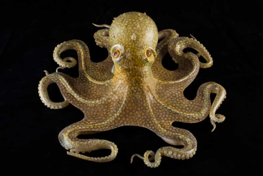 A glass model of the common octopus